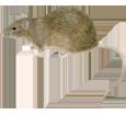Brown Rat ##STADE## - coat 52