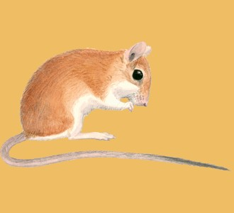 Take in a gerbil species rodent