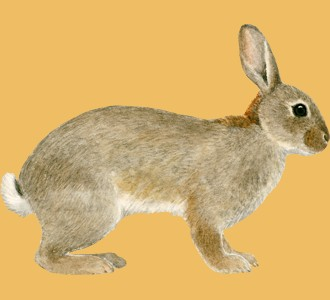 Take in a european rabbit species rodent