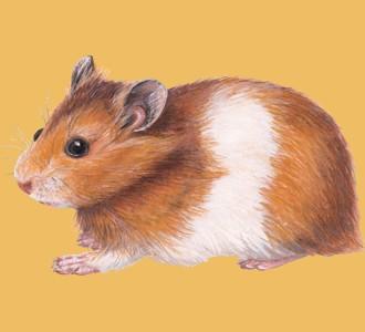 Golden Hamster ##STADE## - coat 39