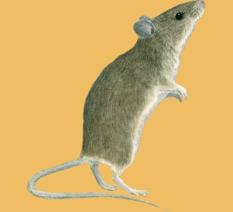 Take in a mouse species rodent
